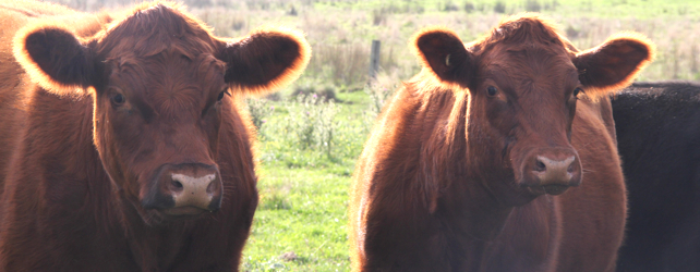 Two steers