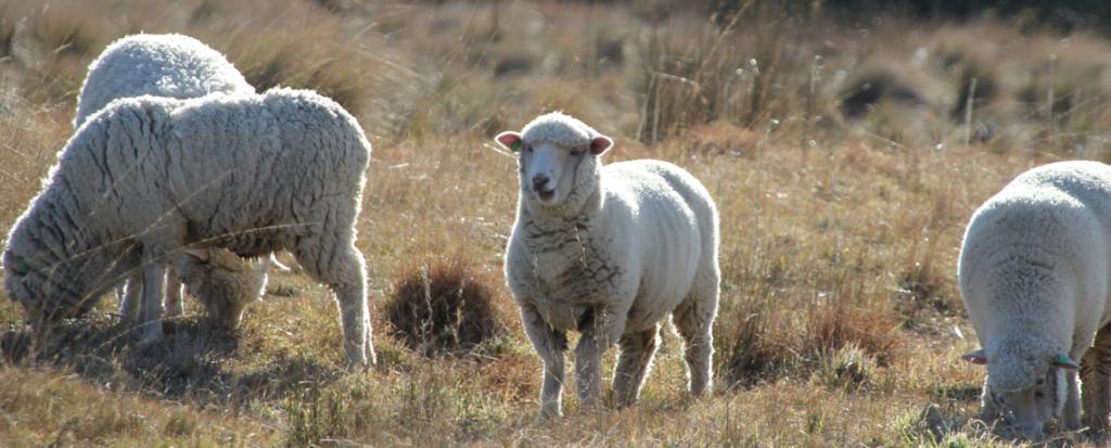 Lamb Smiling