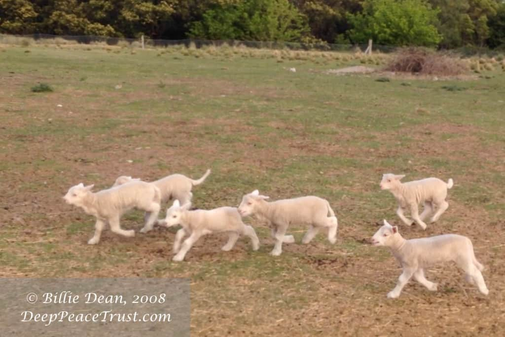 Lambs Playing - Deep Peace Trust