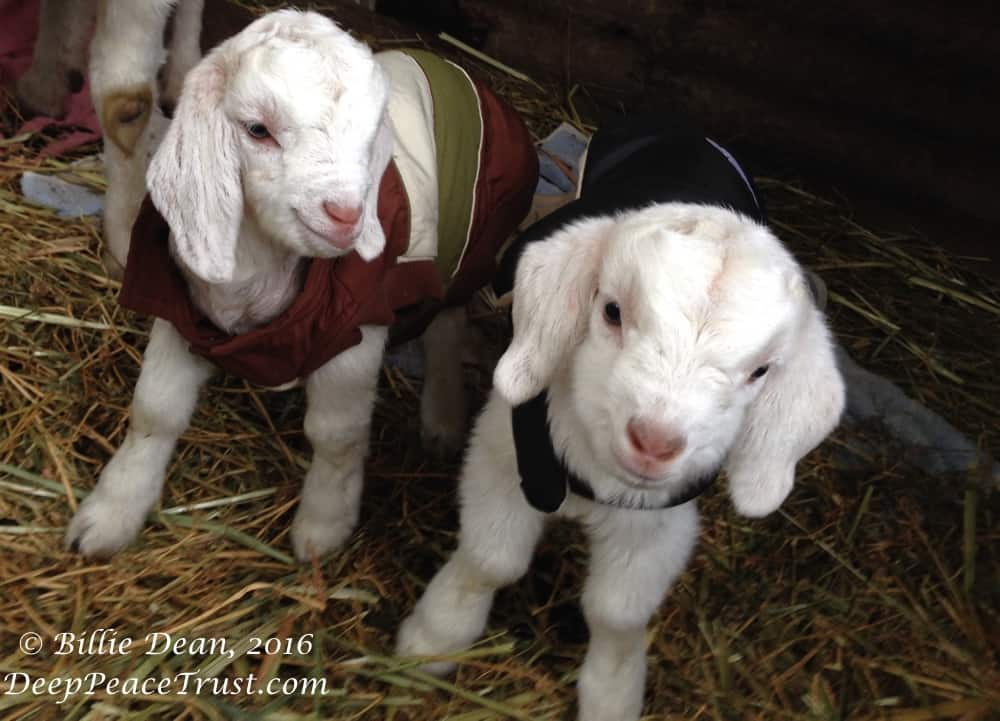 Baby goats in coats with watermark