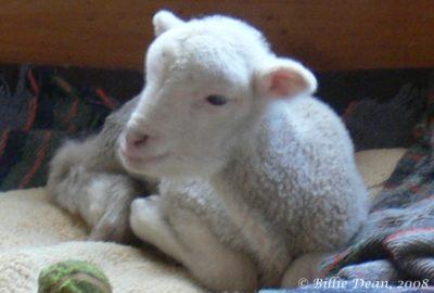 Sarah as a very young lamb