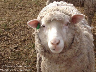 sheep with watermark 1000x751