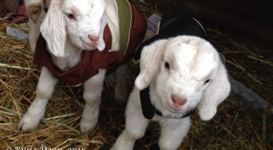 Baby goats in coats for mission poster