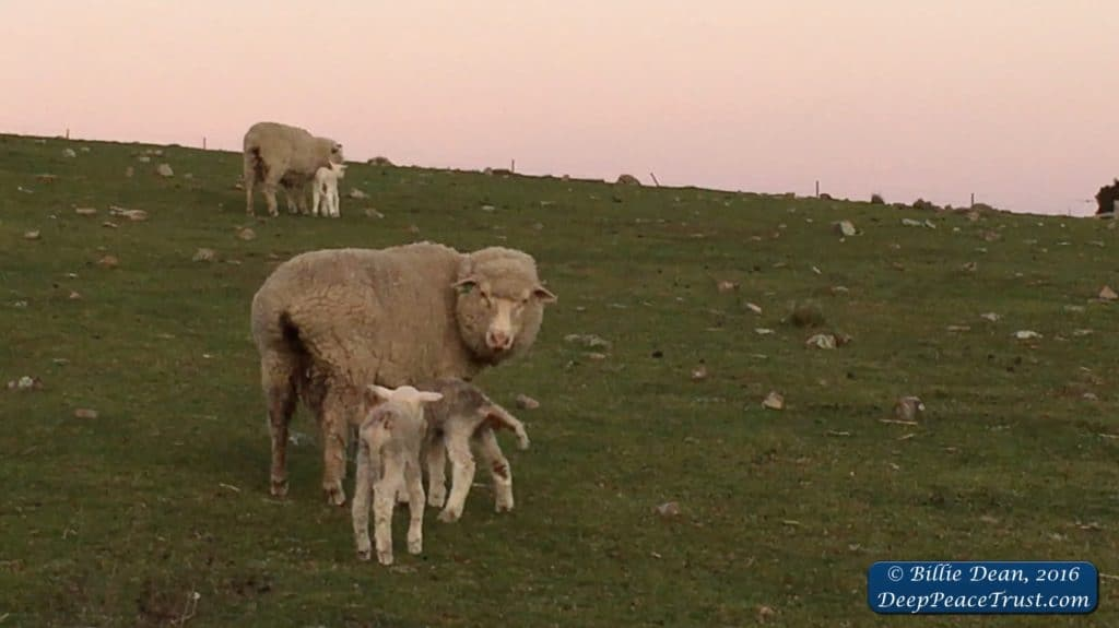 sheep-on-hill-with-lambs-and-watermark