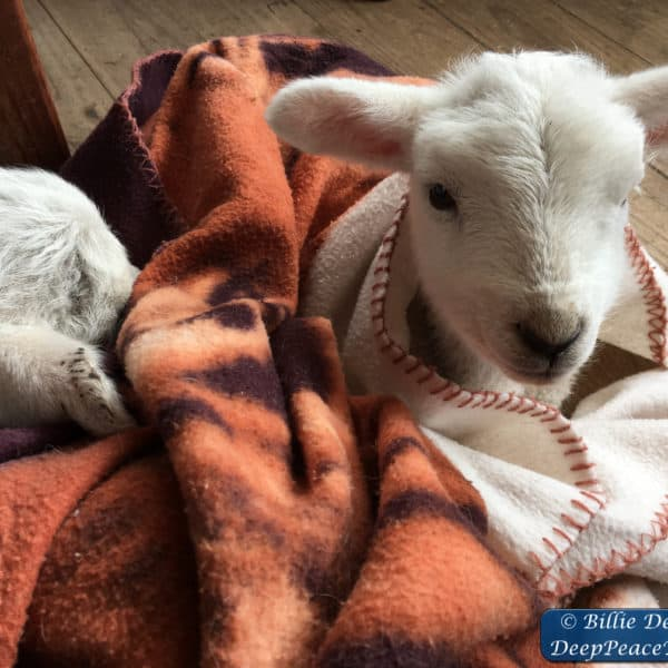 two-lambs-in-blanket-with-watermark